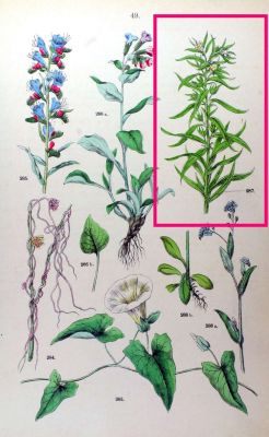 Lithospermum officinale -
