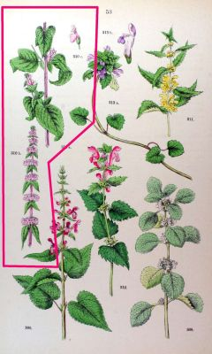 Stachys germanica -