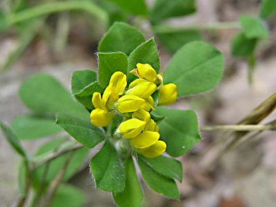 Lotus ornithopodioides