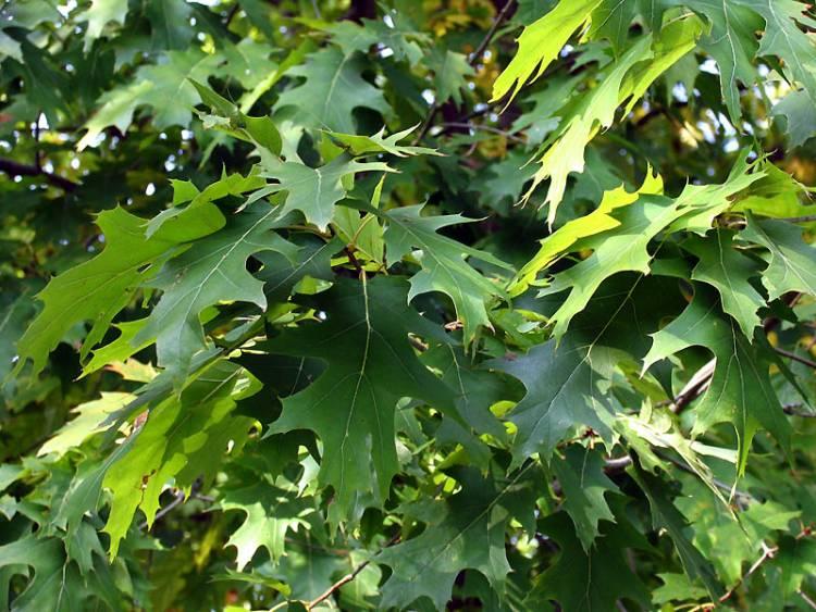 Quercus Congesta Quercus rubra -...