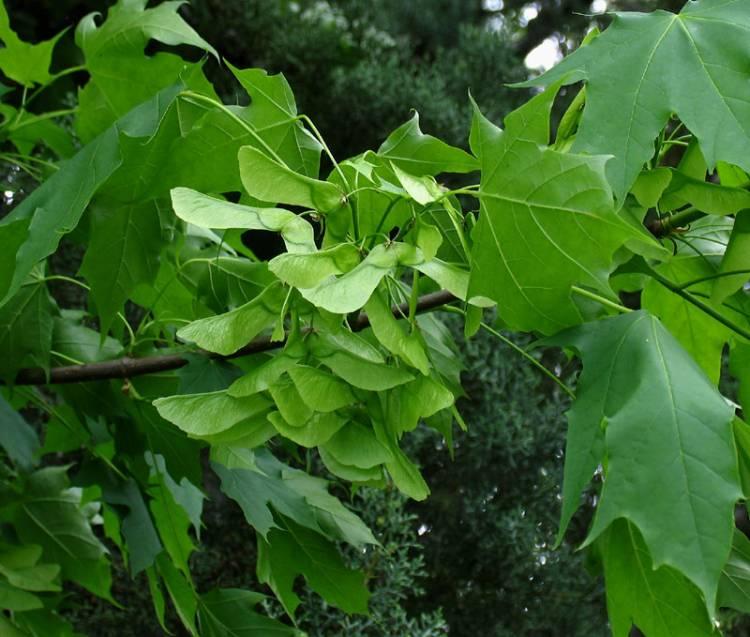 Acer platanoides l norway maple - Arce platanoide ...