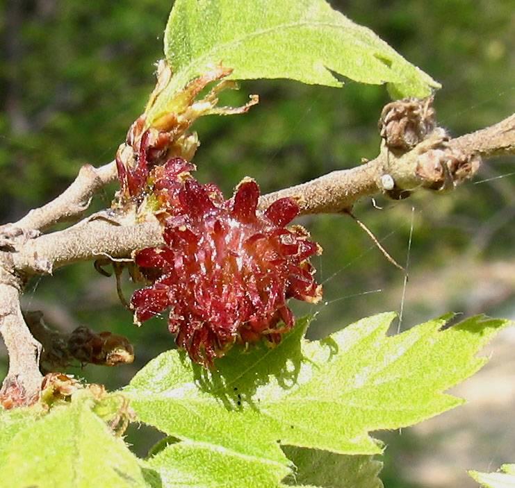 Quercus Congesta Quercus cerris ...