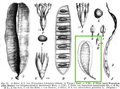 Seed Dispersal Normal_Gagnebina-tamariscina-132