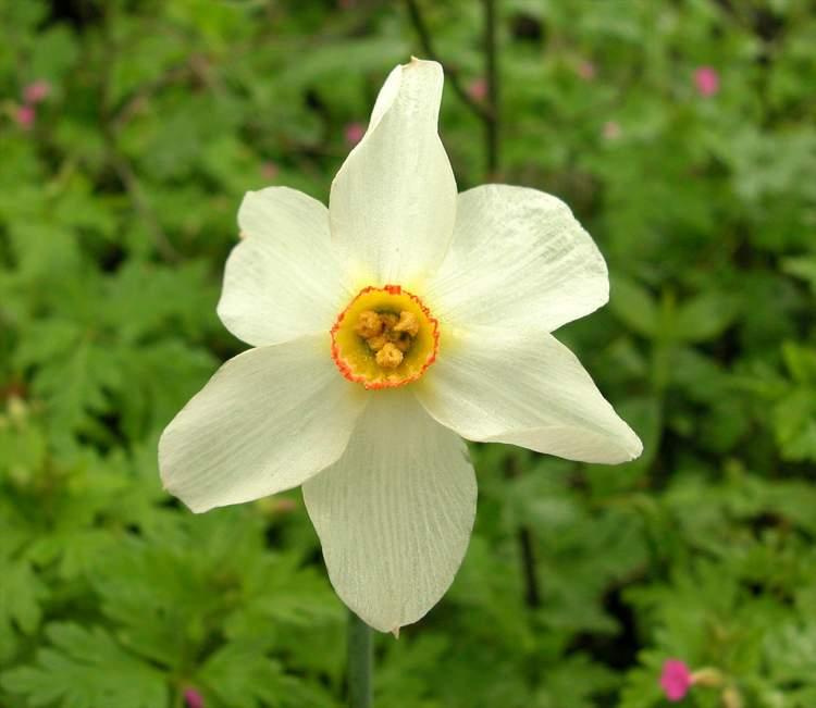 Narcissus radiiflorus specie della flora italiana for Narciso giallo