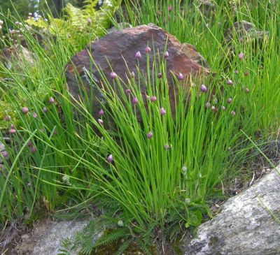 Allium schoenoprasum var. sibiricum