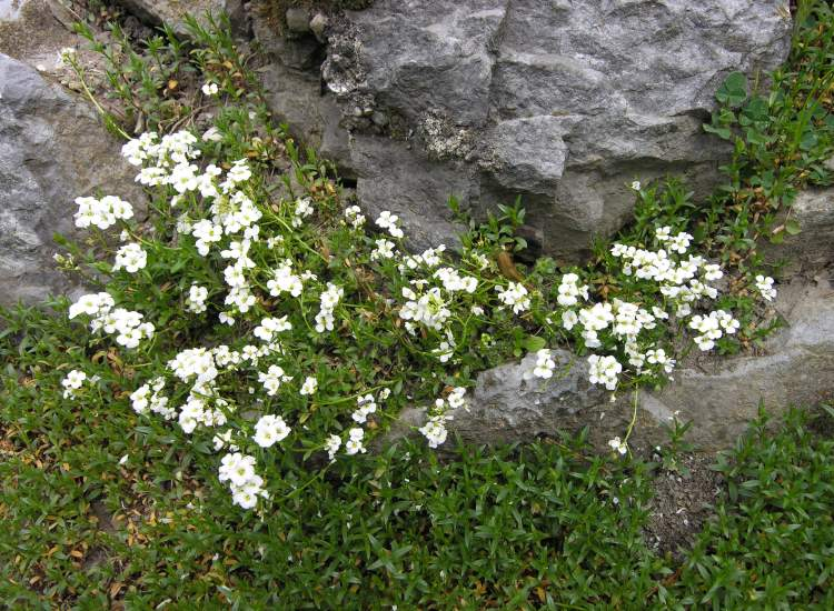 Arabis scopoliana,