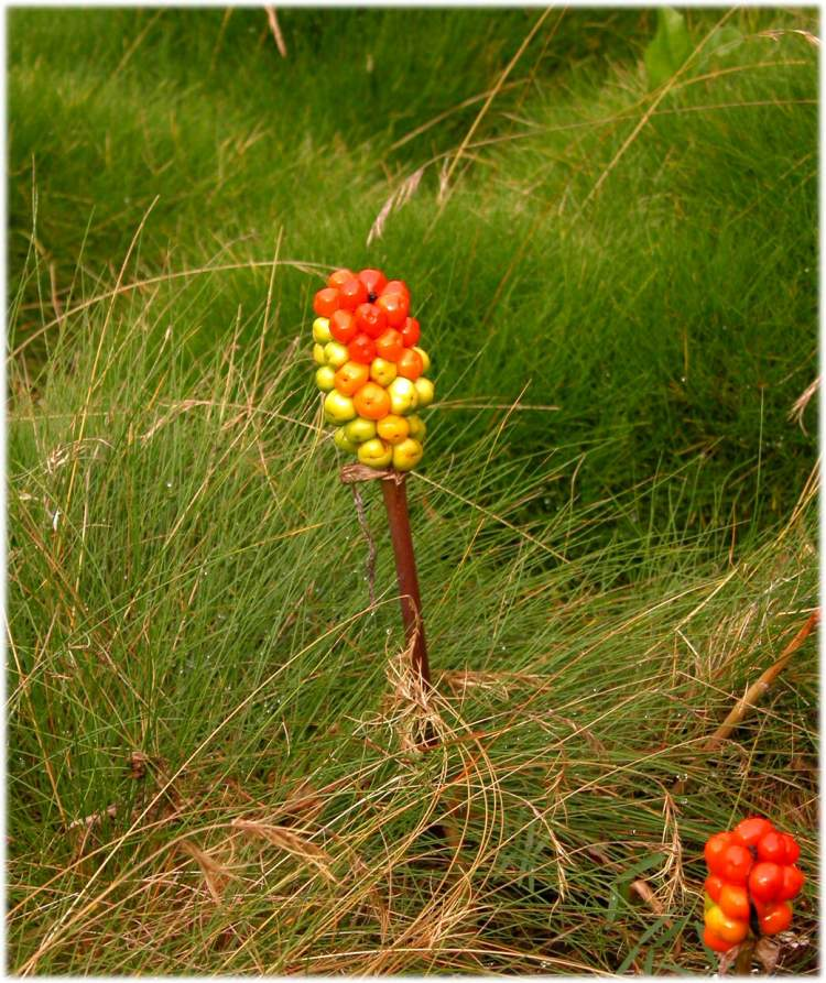 Arum italicum subsp. albispathum