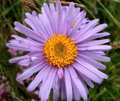 Aster alpinus specie della flora italiana - Aster pianta ...