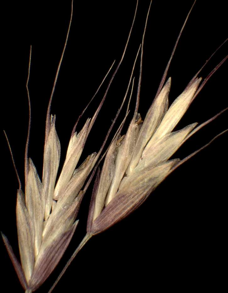 Bromus arvensis subsp. arvensis