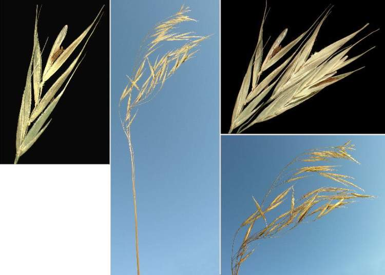 Bromus benekenii,