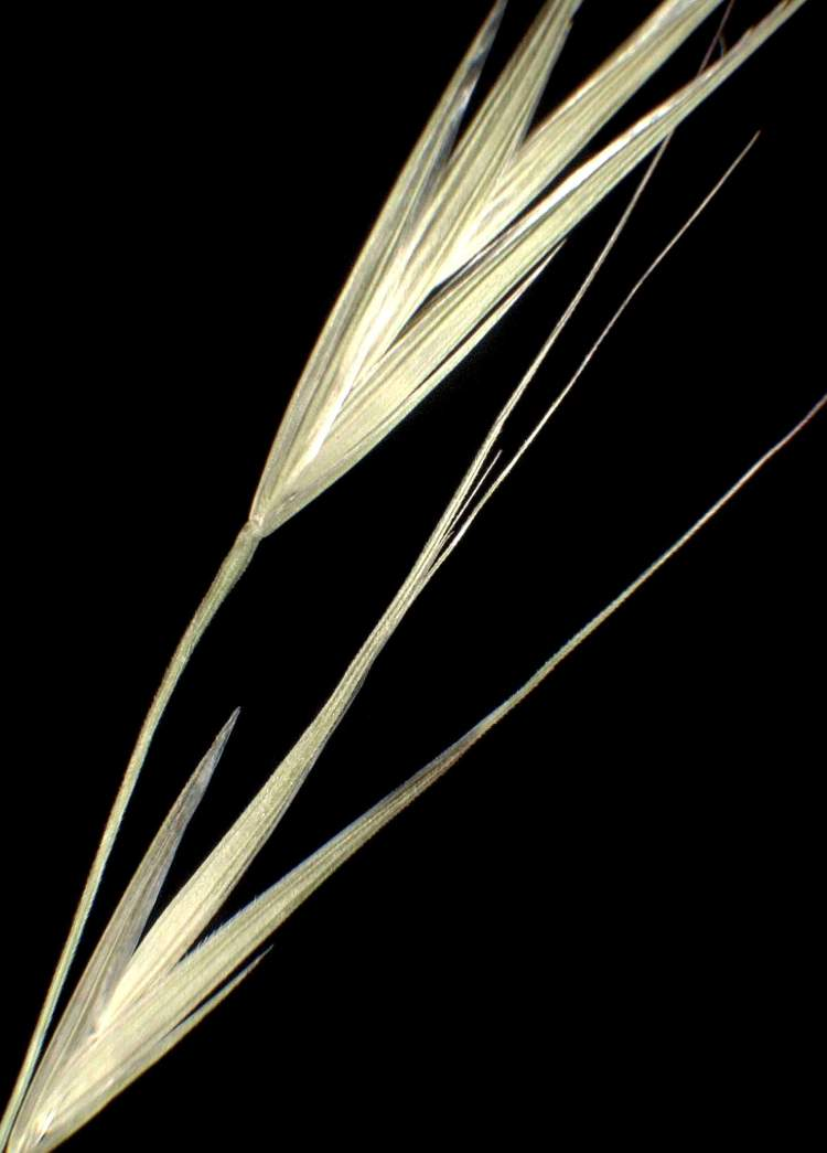 Bromus diandrus subsp. maximus