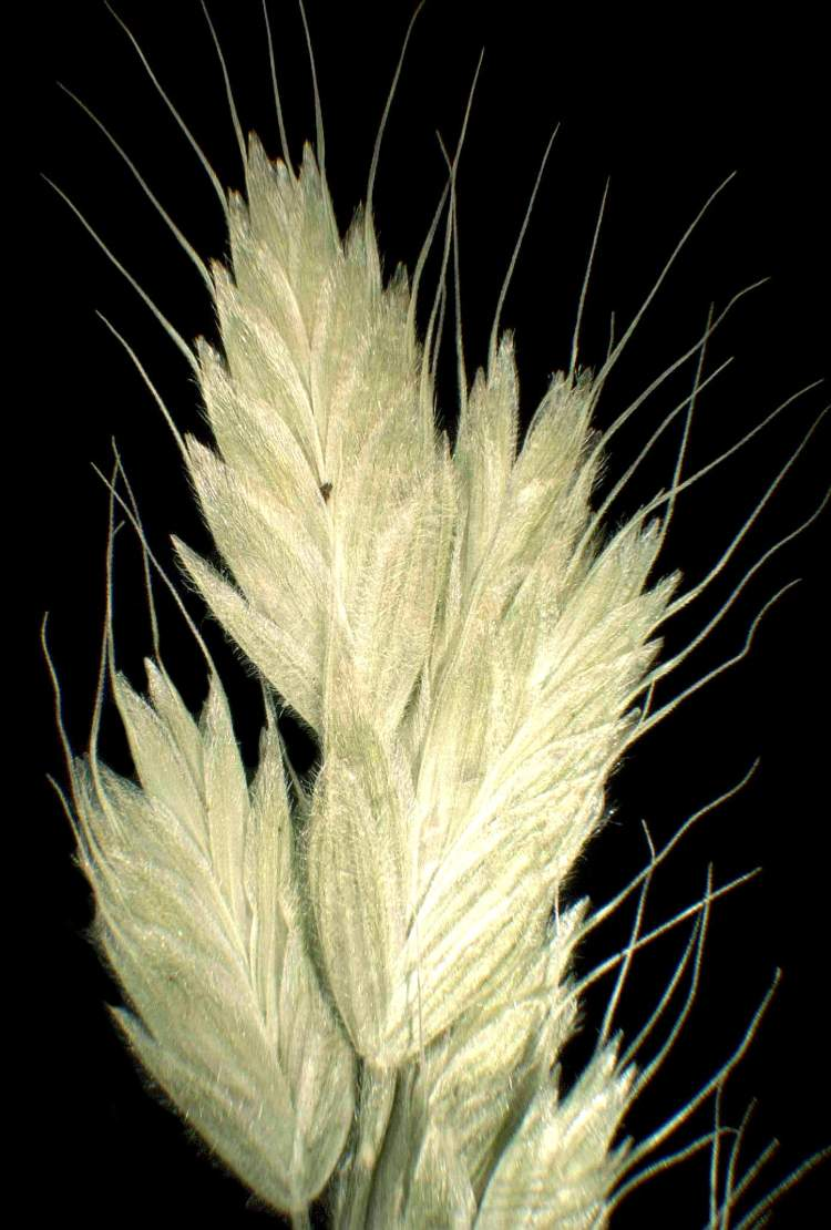 Bromus hordeaceus subsp. molliformis