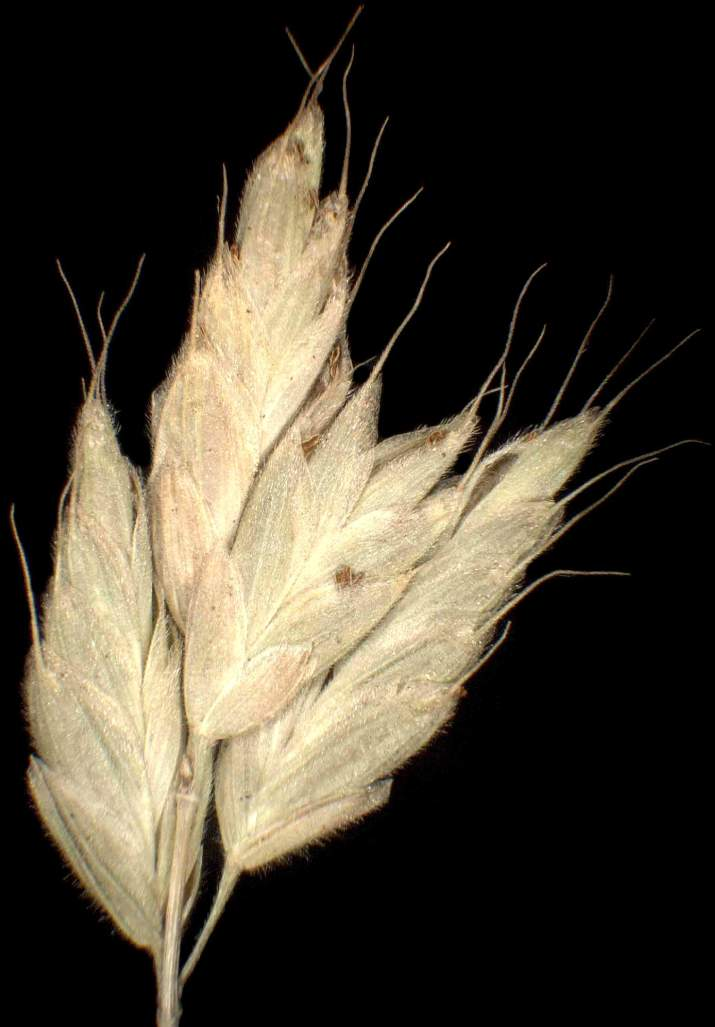 Bromus hordeaceus subsp. pseudothominei