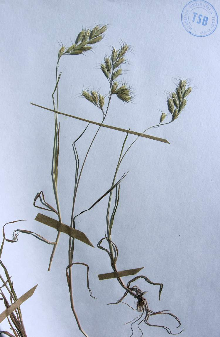 Bromus intermedius,