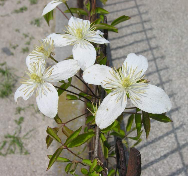 Clematis montana,