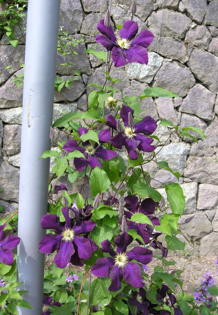 Clematis sp.