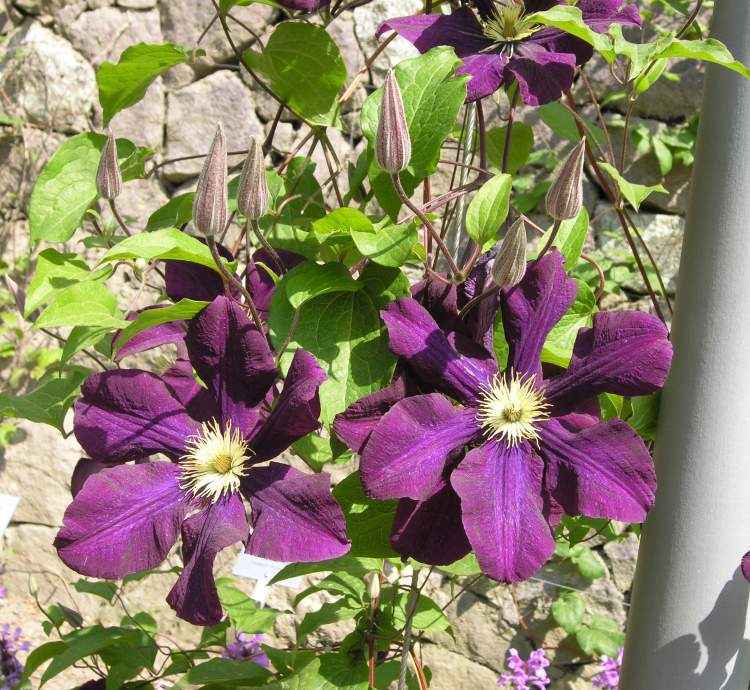 Clematis x jackmannii
