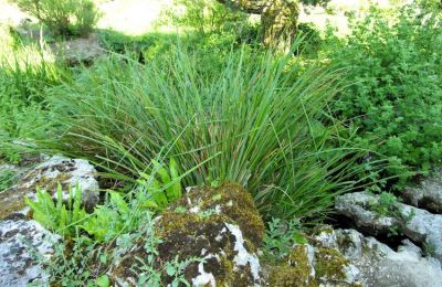 Carex microcarpa