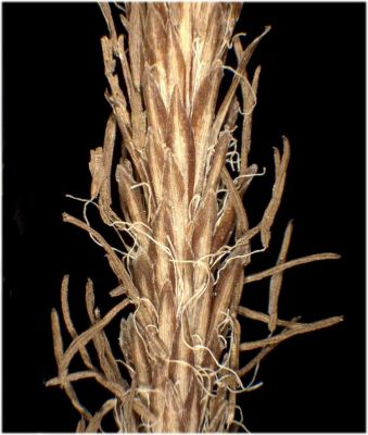 Carex riparia -