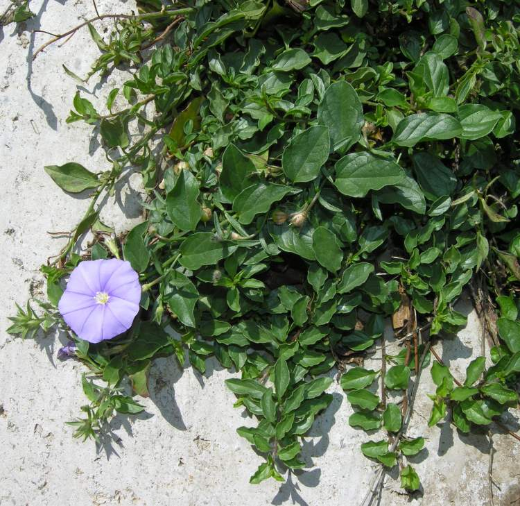 Convolvulus mauritanicus,