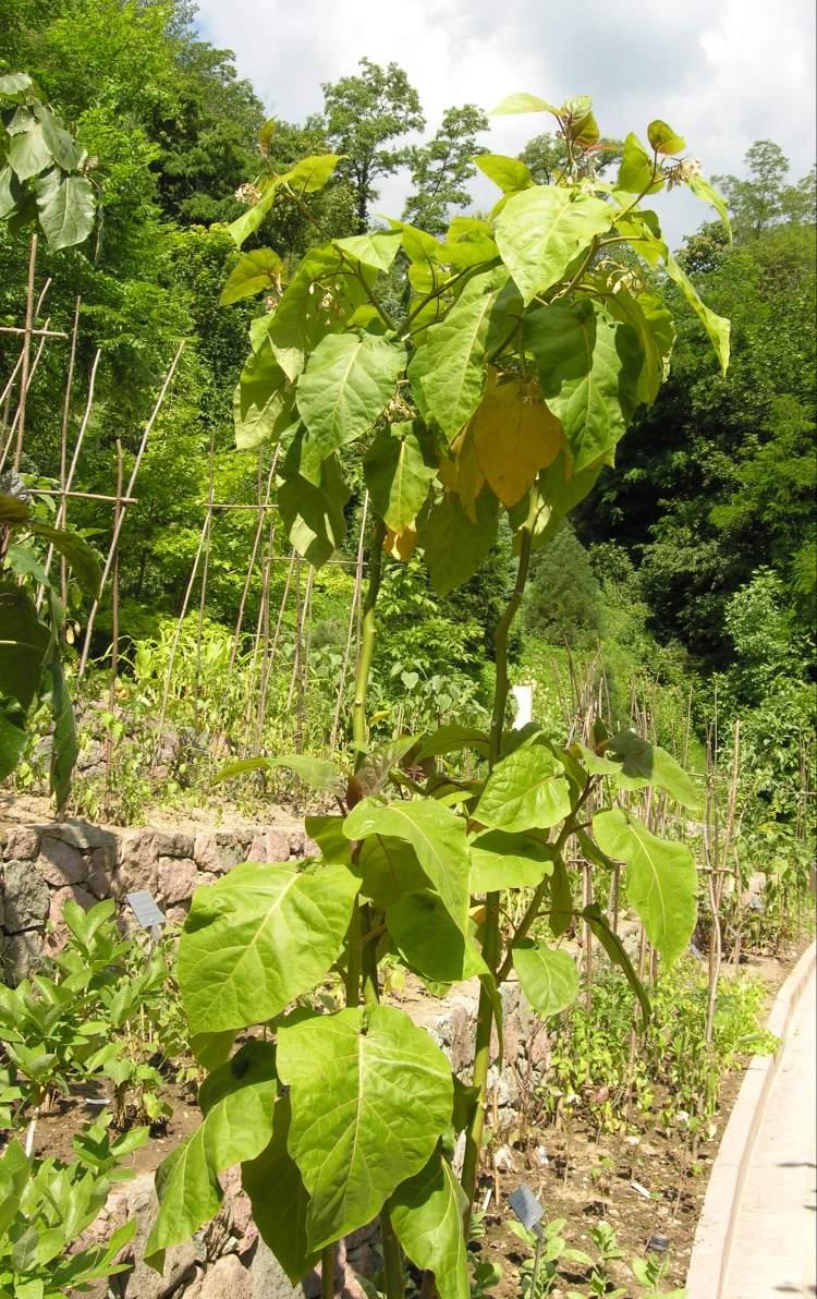 Тамарилло выращивание фото 25