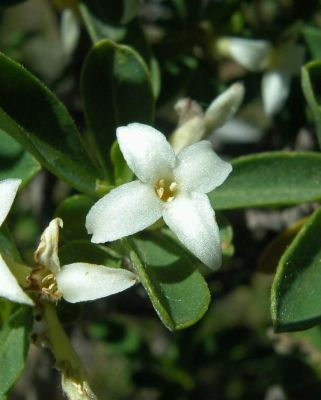 Daphne alpina subsp. scopoliana -