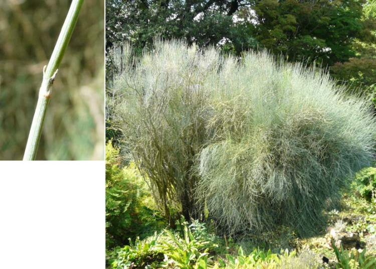 Ephedra nebrodensis Guss. subsp. nebrodensis