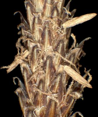 Eleocharis palustris subsp. palustris -
