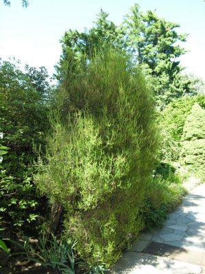 Erica scoparia subsp. scoparia -