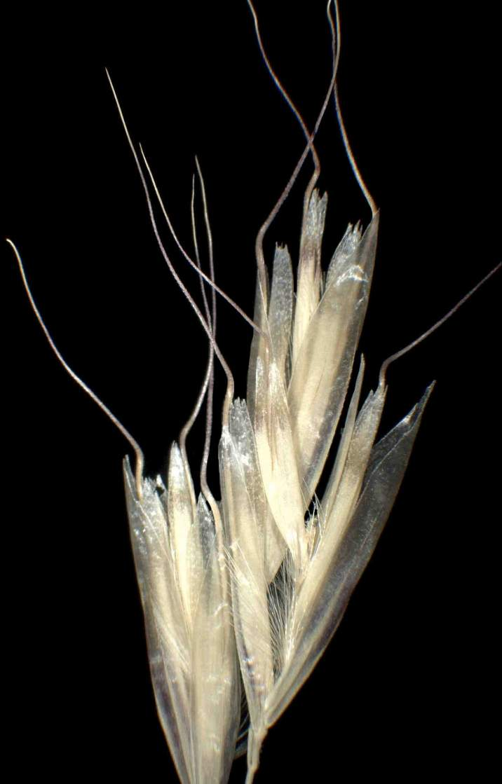 Homalotrichon pubescens