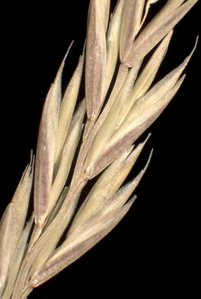 Lolium multiflorum subsp. gaudini