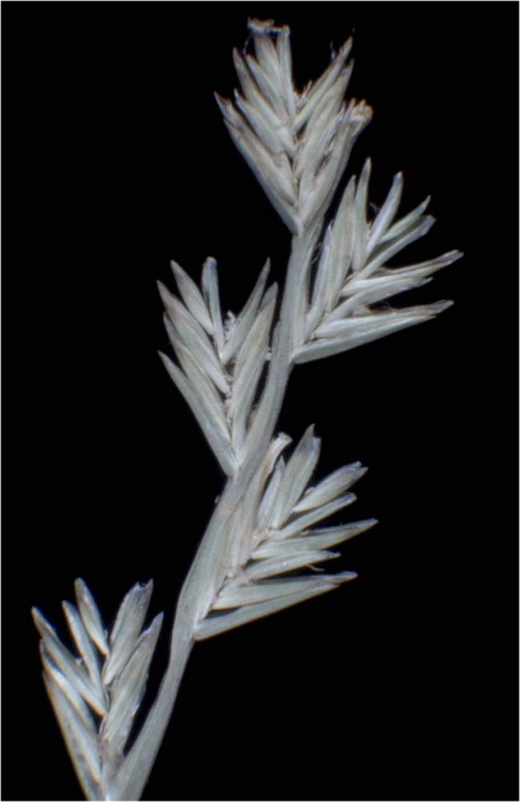 Lolium temulentum subsp. temulentum