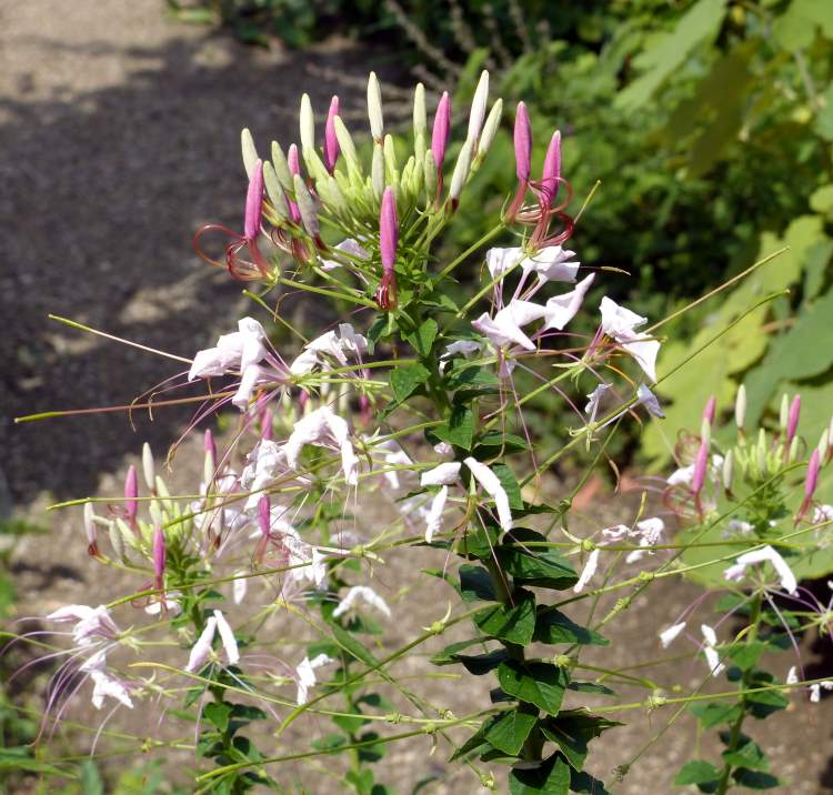 Cleome spinosa Jacq.