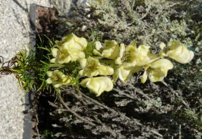 Aconitum anthora - a