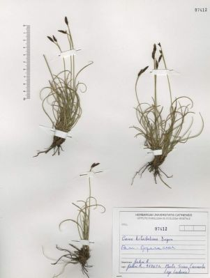 Carex kitaibeliana -