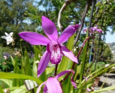 Bletilla striata (Thunb.) Rchb. f.