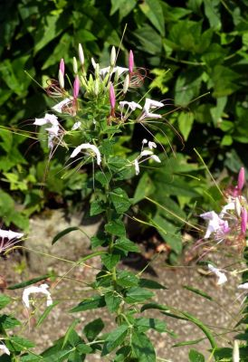 Cleome spinosa -