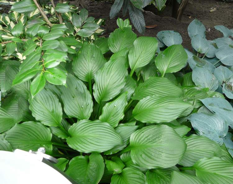 Hosta plantaginea (Lam.) Asch.
