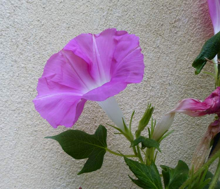 Ipomoea nil (L.) Roth