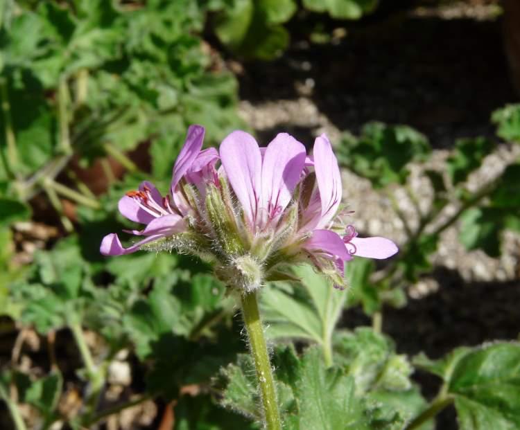 Pelargonium capitatum specie della flora italiana - Geranio odoroso ...