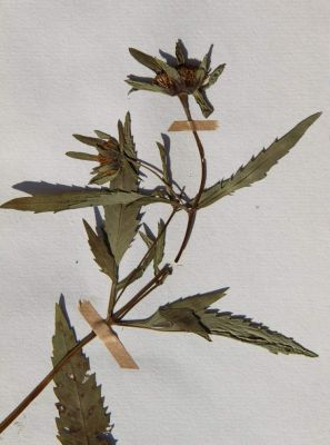Bidens tripartitus subsp. tripartitus -