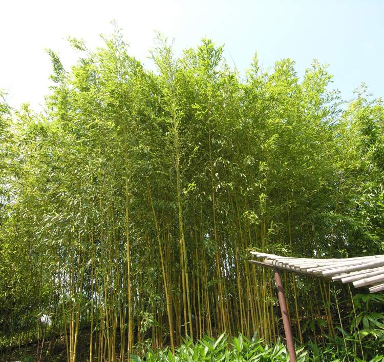 Phyllostachys aureosulcata,