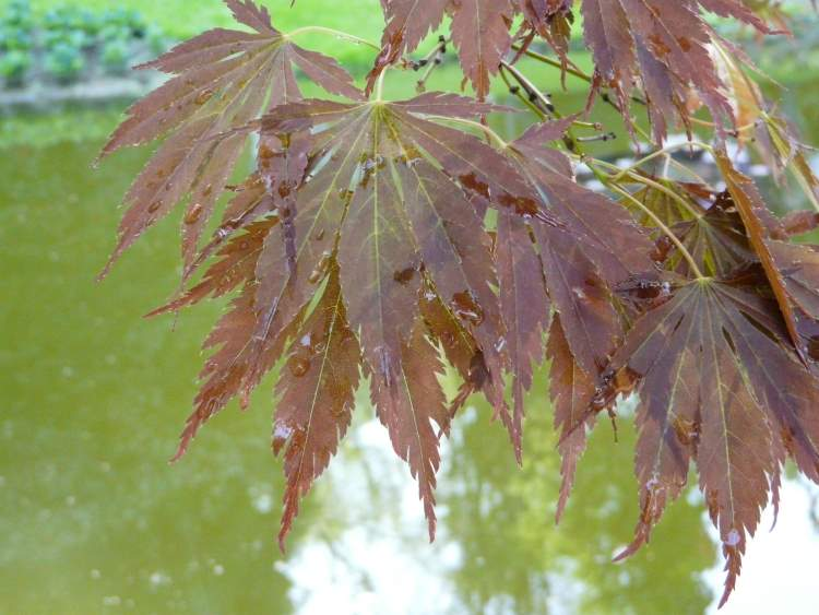 Acer palmatum Thunb.
