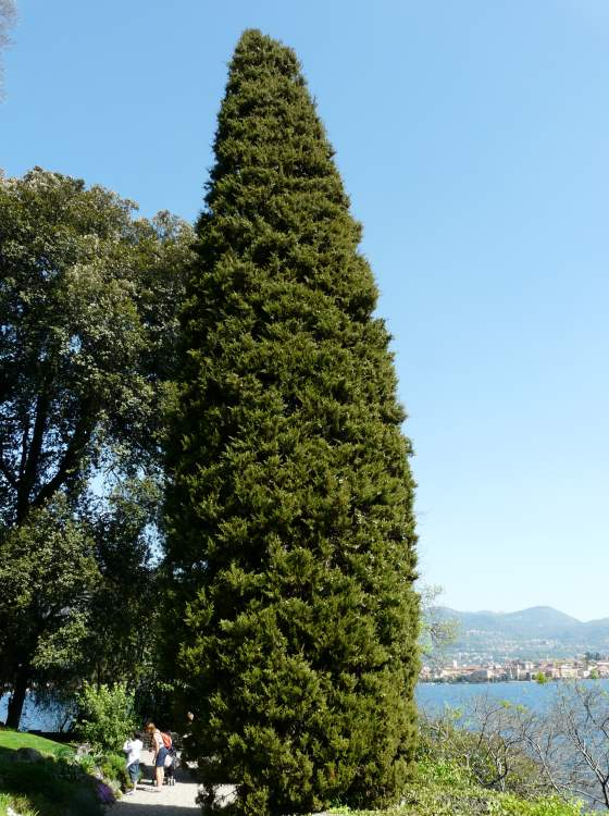 cupressus sempervirens l italian cypress. Black Bedroom Furniture Sets. Home Design Ideas