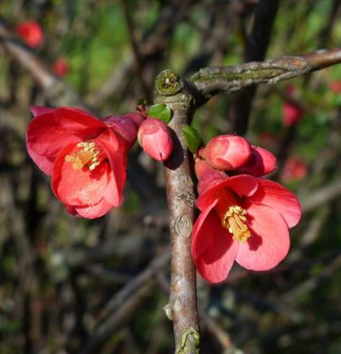 Chaenomeles japonica Lindl. ex Spach