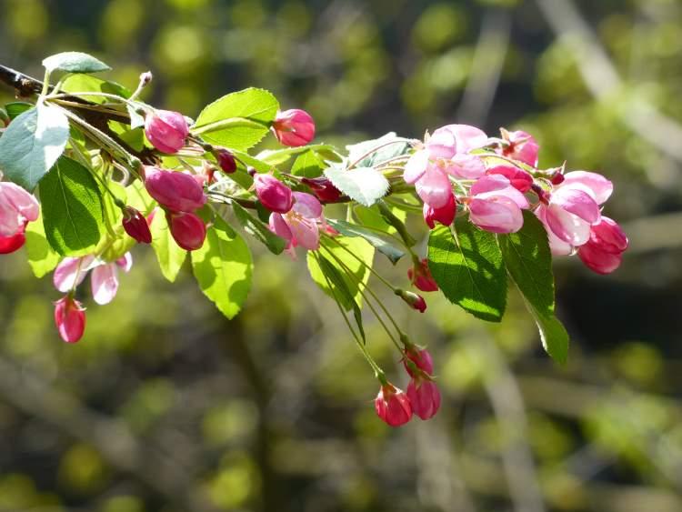 floribunda crabapple - photo #31