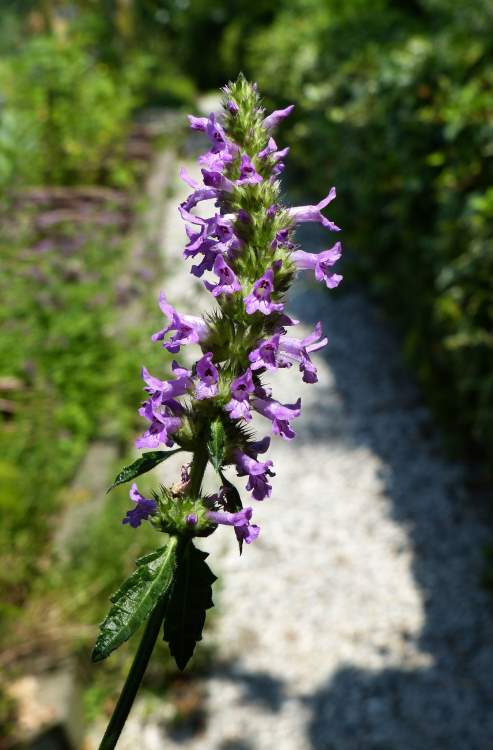 Stachys officinalis (L.) Trevis.