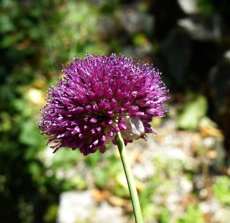 allium sphaerocephalon subsp sphaerocephalon specie della flora italiana. Black Bedroom Furniture Sets. Home Design Ideas