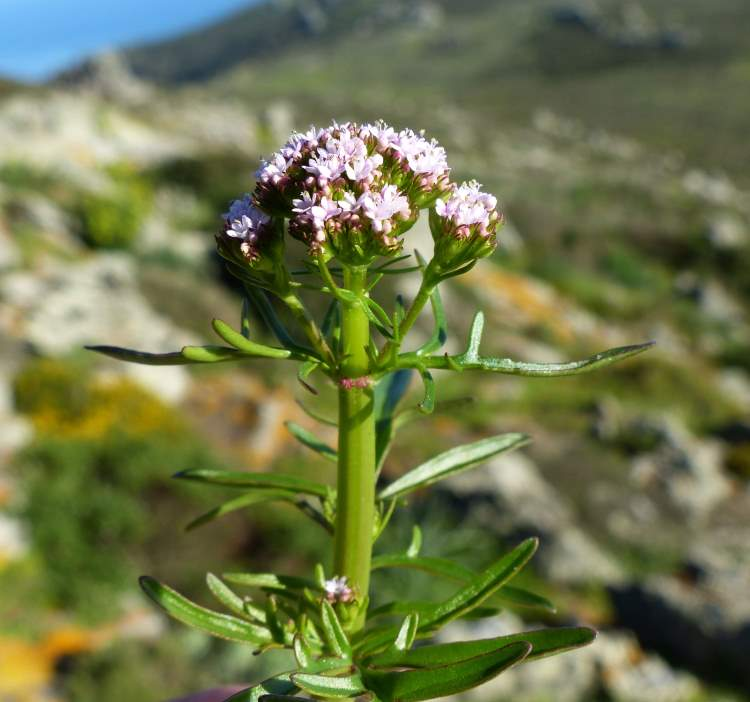 Centranthus calcitrapae (L.) Dufr. subsp. calcitrapae
