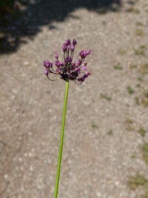 Allium scorodoprasum